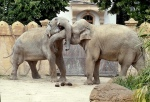 elephants_affection