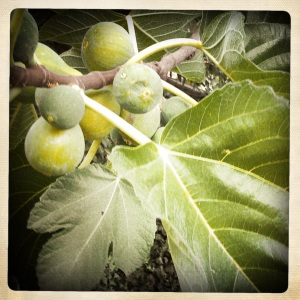 Fig_Tree_with_figs