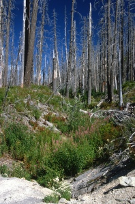 After a fire, it takes time to growth a new forest