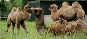 Camels work hard, carry heavy loads.